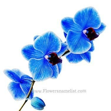 Orchids Stunning Blue