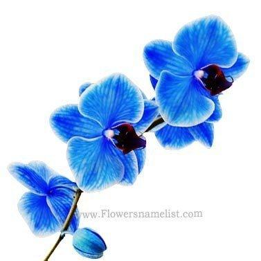 Orchids Stunning Blue