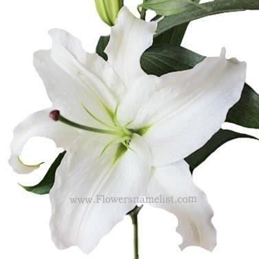 Oriental Lilies White