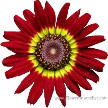 Painted Daisy Carinatum