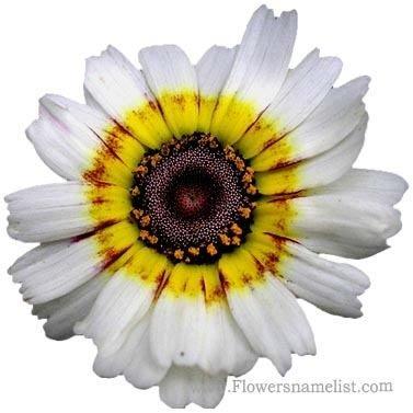 Painted Daisy, Chrysantemum Carinatum