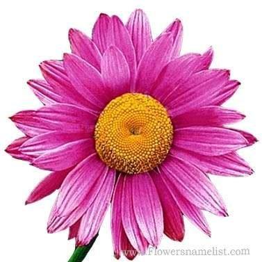 Painted Daisy Mix purple