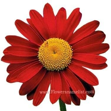 Painted Daisy Mix red
