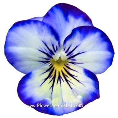Pansy Blue Flower
