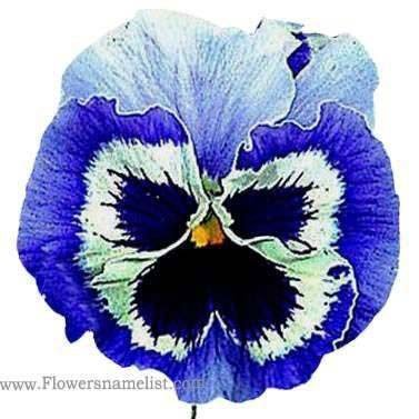 Pansy Snowpansy Blue & White