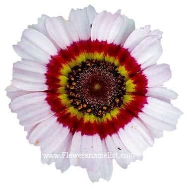 Papaver rhoes Painted Daisy