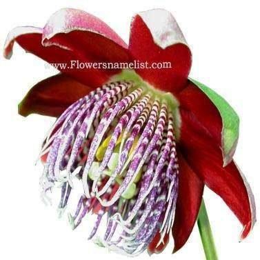Passiflora alata flower