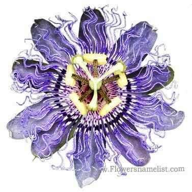 Passiflora incarnata passion flower