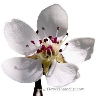 Pear Blossom European
