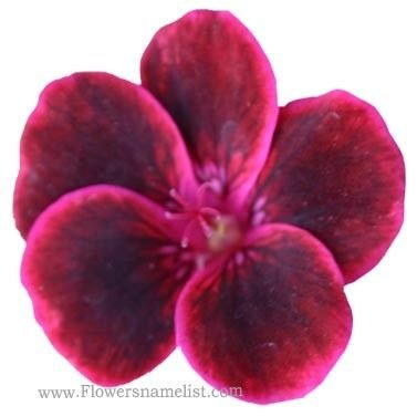 Pelargonium peltatum red