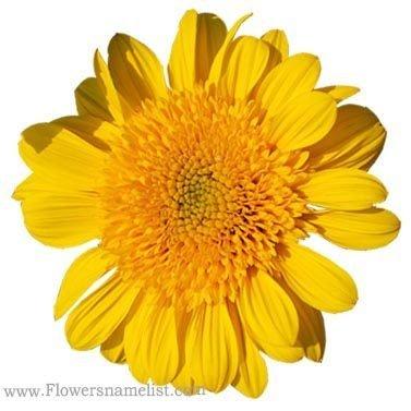 Perennial Sunflower 'Double Whammy'