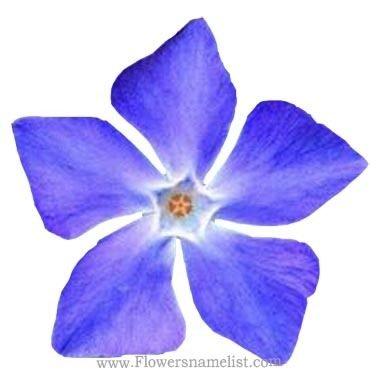 Periwinkle Blue Flower early friendship