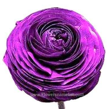 Persian Buttercup Purple Ranunculus