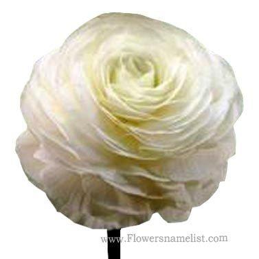 Persian Buttercup White