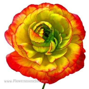 Persian Buttercup yellow red