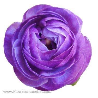 Persian Purple Buttercups