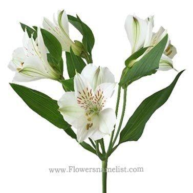 Peruvian Lilies White