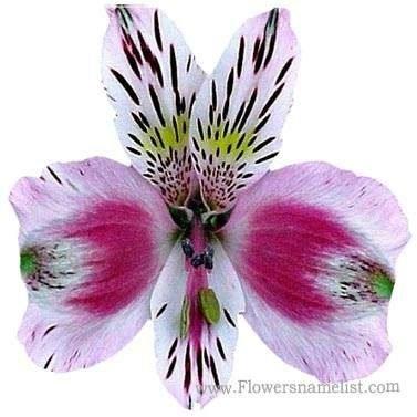 Peruvian Lily Alstroemeria ligtu,