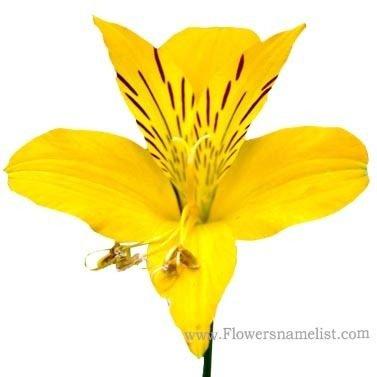 Peruvian Lily Alstroemeriaceae