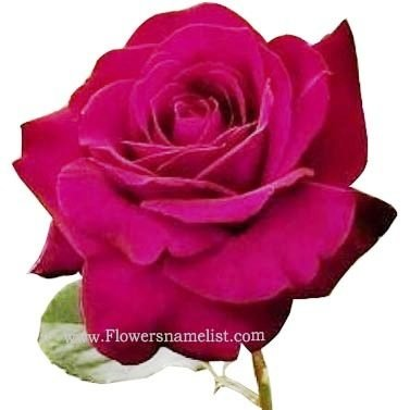Peter Pan Rose