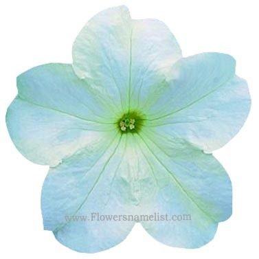 Petunia white