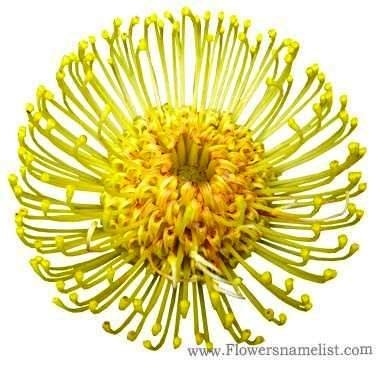 Pincushion Protea Yellow
