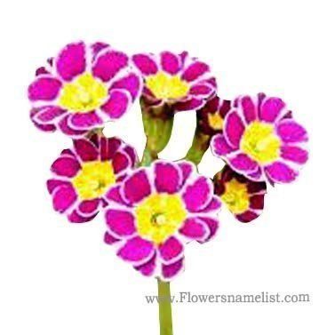 Polyanthus Lilac Lace