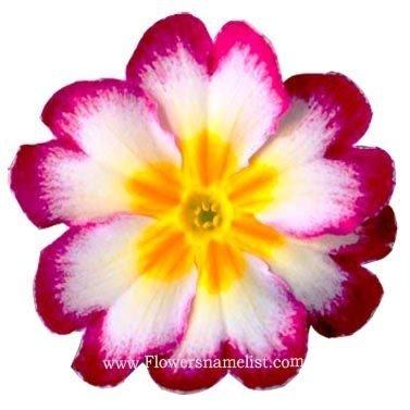 Polyanthus Primrose