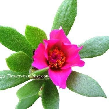 Portulaca pilosa Pink Purslane