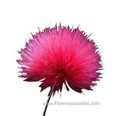Powder Puff Pink Flower