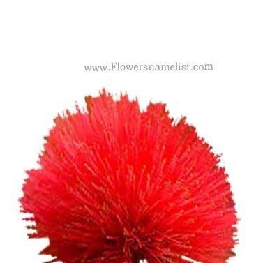Powder Puff red Flower