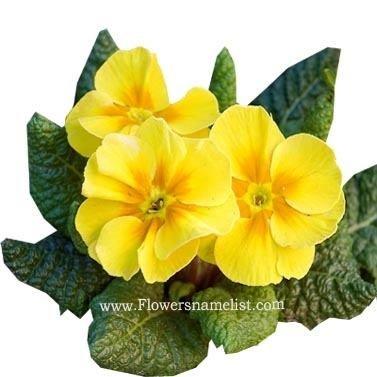 Primula Yellow