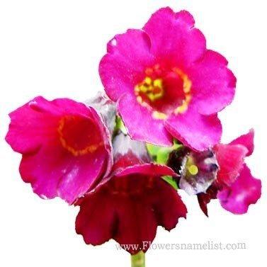 Primula anisodora flowers