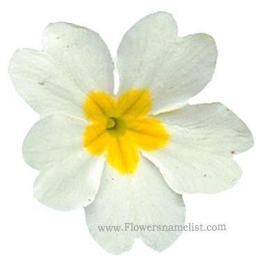 Primula vulgaris white
