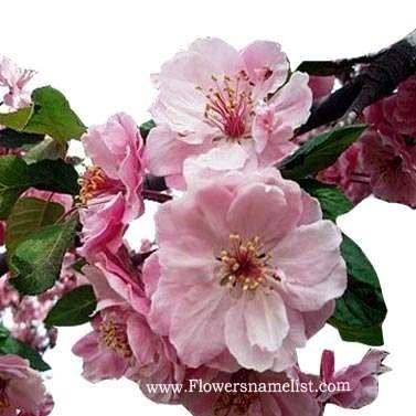 Prunus Tree flower