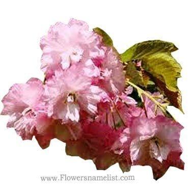 Prunus Tree pink flower