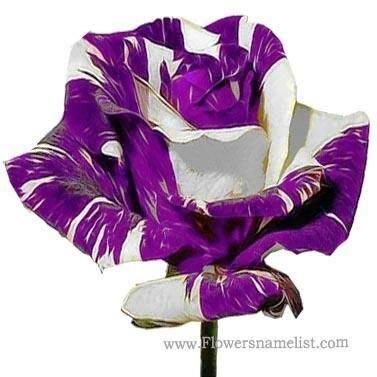 Purple & White Rose
