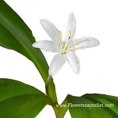 Queen Cup (Clintonia uniflora)