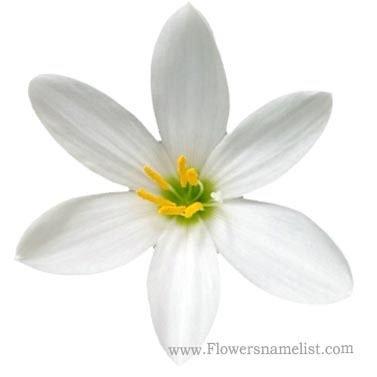 Rain lily white