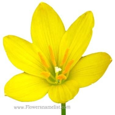 Rain lily yellow