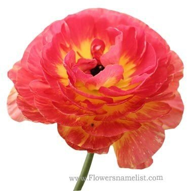 Ranunculus Persian buttercup