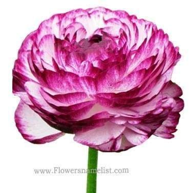 Ranunculus bicolour