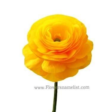 Ranunculus yellow