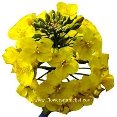 Rape Kiel flower