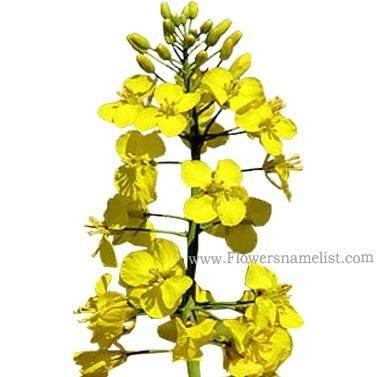 Rape yellow flower