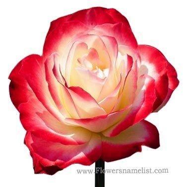 Red White Rose Flower