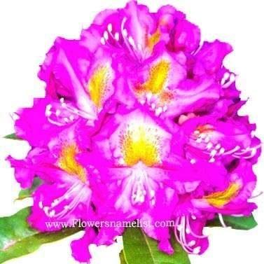 Rhododendron 'Mrs. Murple's Purple