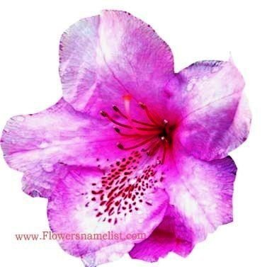 Rhododendrons Pink