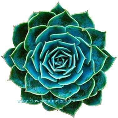 Rock Rose Echeveria