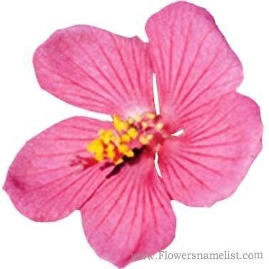 Rock rose Pavonia lasiopetala